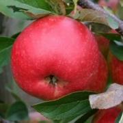 Apple is good source of chromium