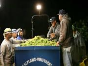 Night Harvest 2011, Harvesting Jordan Chardonnay Wine Grapes, Russian River Valley