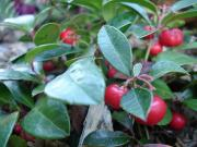 Wintergreen leaf for a healthy winter!