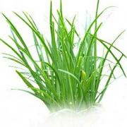 Tips on how to dry chives - healthiest herb.