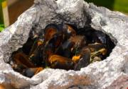 Mussels on the Barbecue