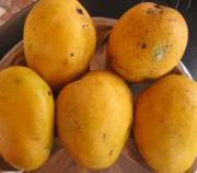 Contact dermatitis is one of the side effects of mango