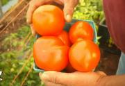 Heirloom Tomatoes From Field To Kitchen