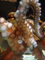Octopus Balls