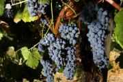 Benefits of grapes enzymes