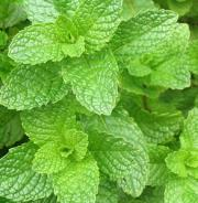 Spearmint leaf benefits revealed!