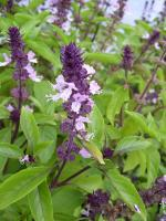 Herbal remedies for poison ivy