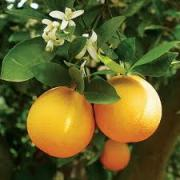 Orange Medicinal Uses -- Oranges