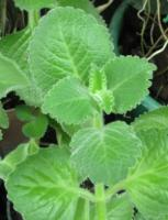 Ajwain leaves for fevers and colds.