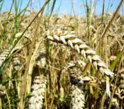 Celiac disease is one of the important side effects of wheat