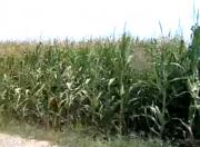 Corn Production Surges In Virginia