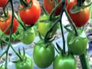 What Is Heirloom Tomatoes