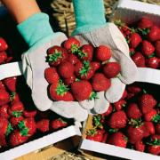 Cedarburg Strawberry Festival celebrates its 25th anniversary this year