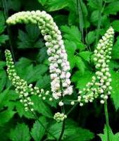 What Are The Uses Of Black Cohosh Root?