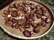 Shiitake Mushrooms being dried on a flat basket