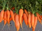Carrot Medicinal Uses -- Fresh Carrots