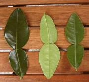 Kaffir leaves