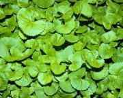 Gotu kola is mainly valued for its rejuvenative properties.