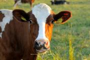 Mad Cow Disease has not affected US beef supply chain
