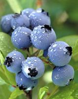 Why are blueberries good for you? Not for just one reason but many.