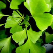 Ginkgo biloba is one of the effective natural remedies for glaucoma