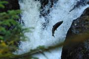 salmon species need conservation with changes in environment