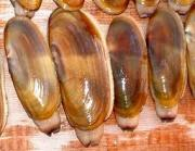 Steamer clams are soft shelled clams found along the coast of New England
