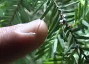 An Overview Of Hemlock Disease