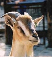 goats head cheese