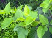 Mulberry leaves are rich in compounds that aid in curbing many of the serious ailments.