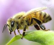 Today even pesticides threatening honeybees
