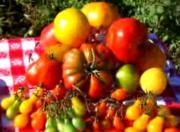 Range Of Tomatoes