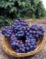 Grapeseed benefits