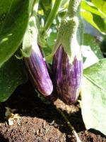 How To Grow Hanging Eggplants