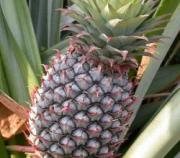 Common side effects of pineapple include vomiting and allergies