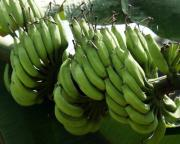 benefits of banana enzyme