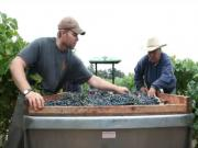 Quality Control Viticulture: Sorting Wine Grapes in the Vineyard at Harvest