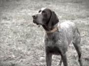 Cooper: The Blind Bird Hunting Dog