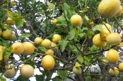 Meyer lemons could be a hybrid with lemon and orange
