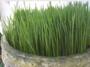 How To Make Wheatgrass Taste Better