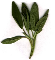 Healthy sage leaves