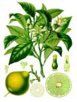 Bergamot oil for hair care - Peels of glow and health for your hair!