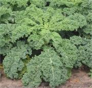 Kale has several health benefits and a must have on the menu