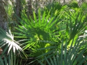 Saw palmetto - herbal remedy for enlarged prostate