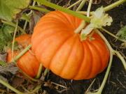 The dehydrated pumpkin pulp can be stored for long time.