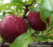 Plums for hypoglycemia treatment