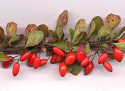 Barberry leaf has medicinal uses.