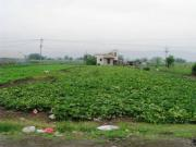 Fields in Japan growing greens