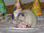The urge to eat junk food is passed on from mother rat to baby rat