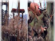 Vineyard Pruning Technology